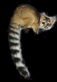 Miners Cat also known as a Ringtail Cat.